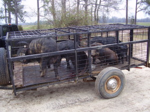 Illegal transportation of wild hogs