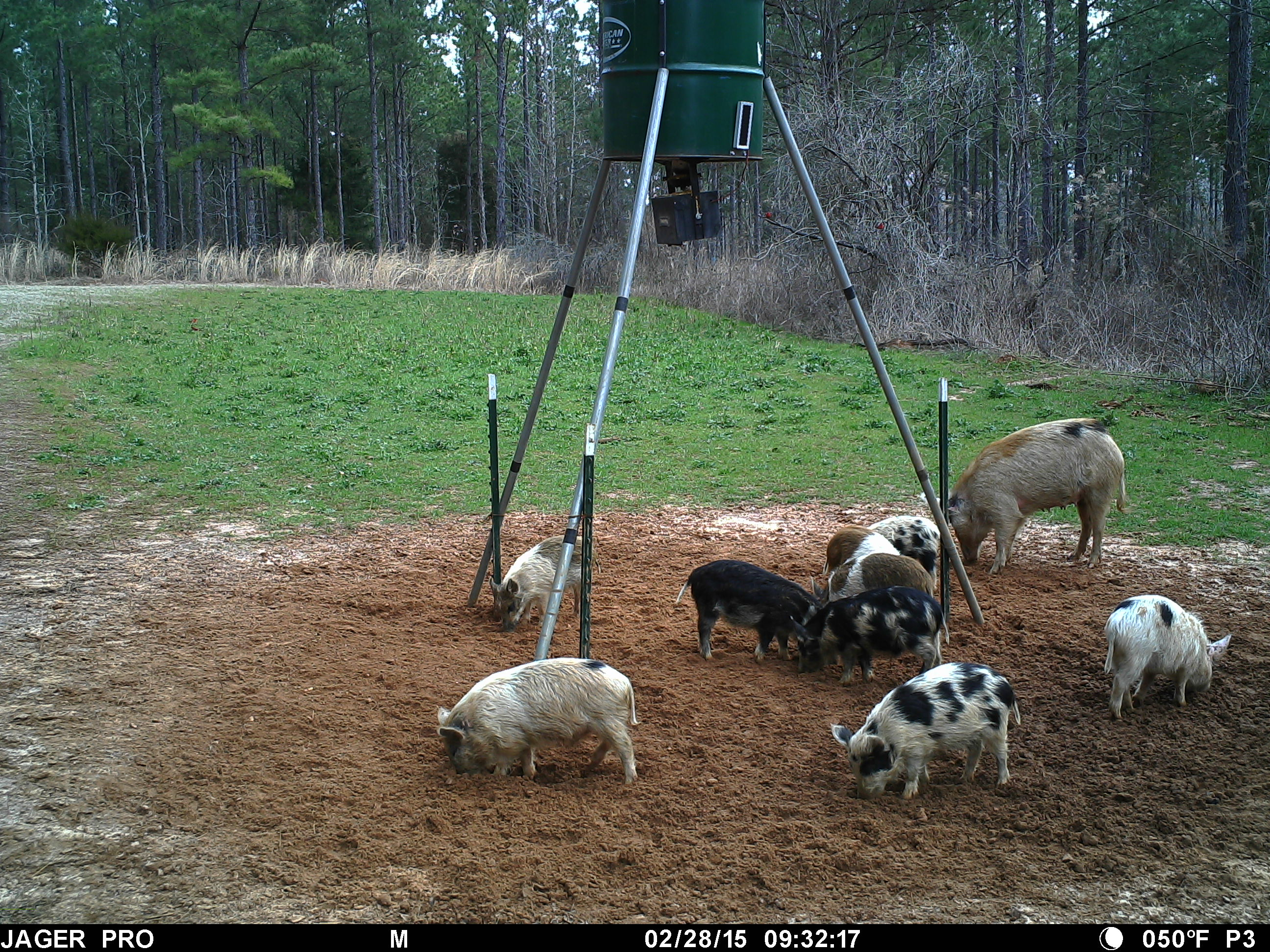 Understanding wild hog reproduction