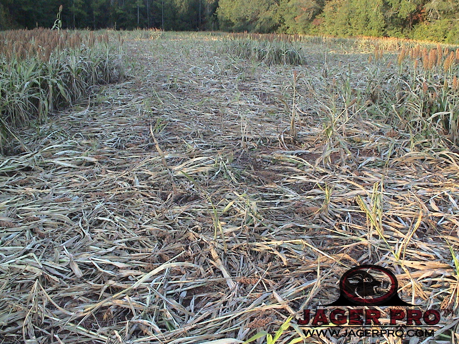 November Grain Sorghum Damage Wild Hogs