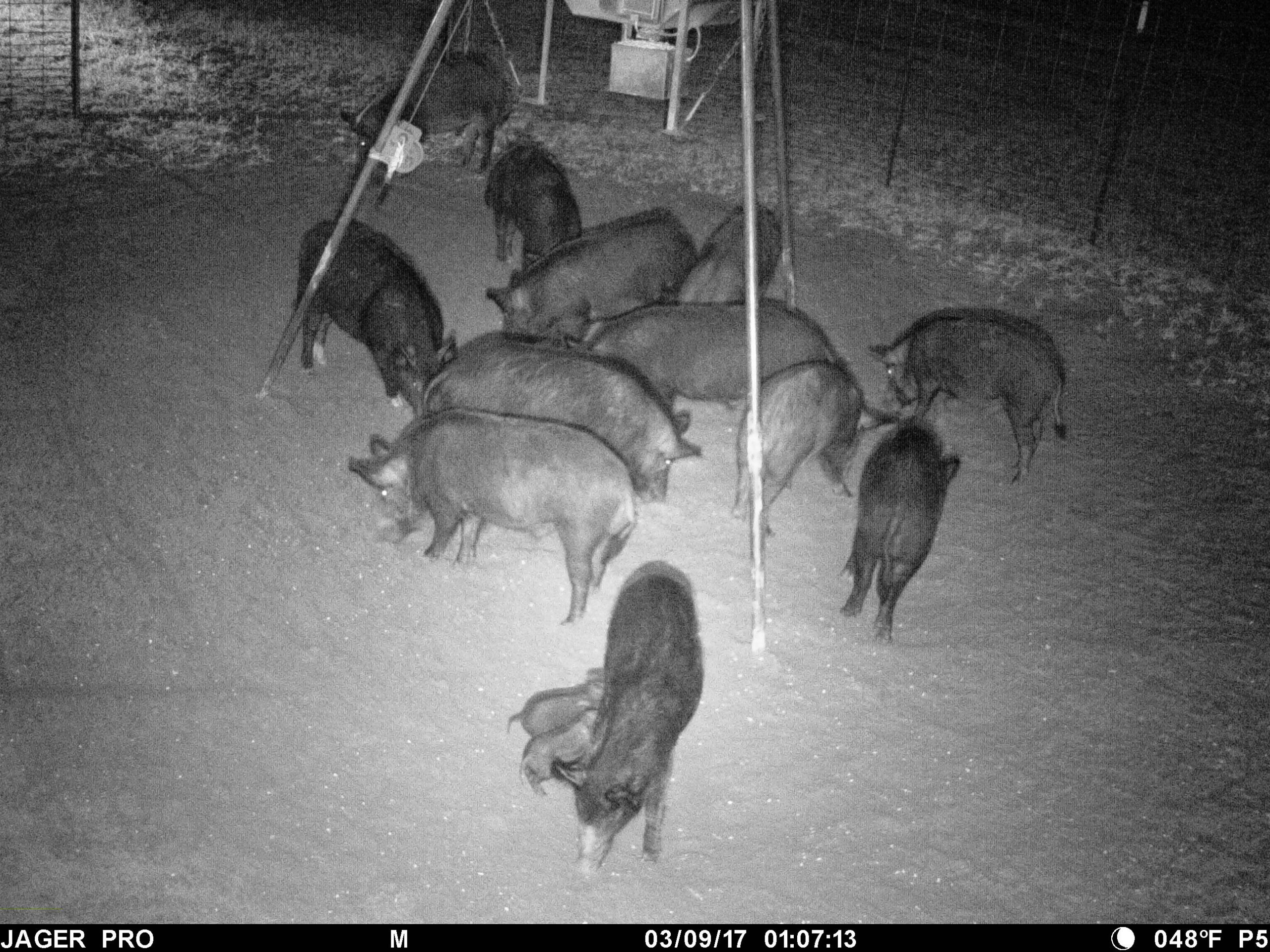 Hog Trapping – Trigger Selection