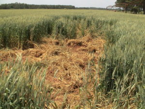 Crop Damage