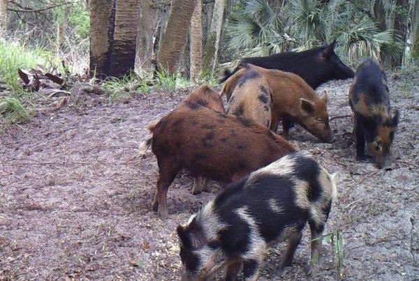 Wild Hog Reconnaissance