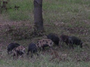 Wild Hogs Eating Fall Acorns