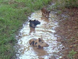 Wild Hogs at Summer Wallow