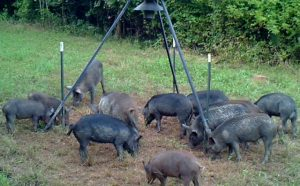 Wild Hogs at Winter Feeder